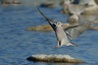 Cape Turtle Dove Landing