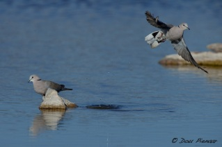 Cape Turle Dove Take off 2