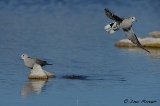 Cape Turle Dove Take off 2