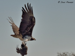 Marshall Eagle flying with Guineafowl Catch