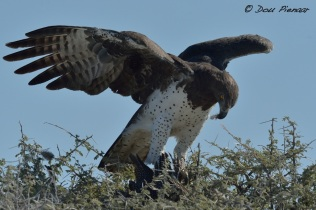Marshall Eagle eating Guineafowl Catch