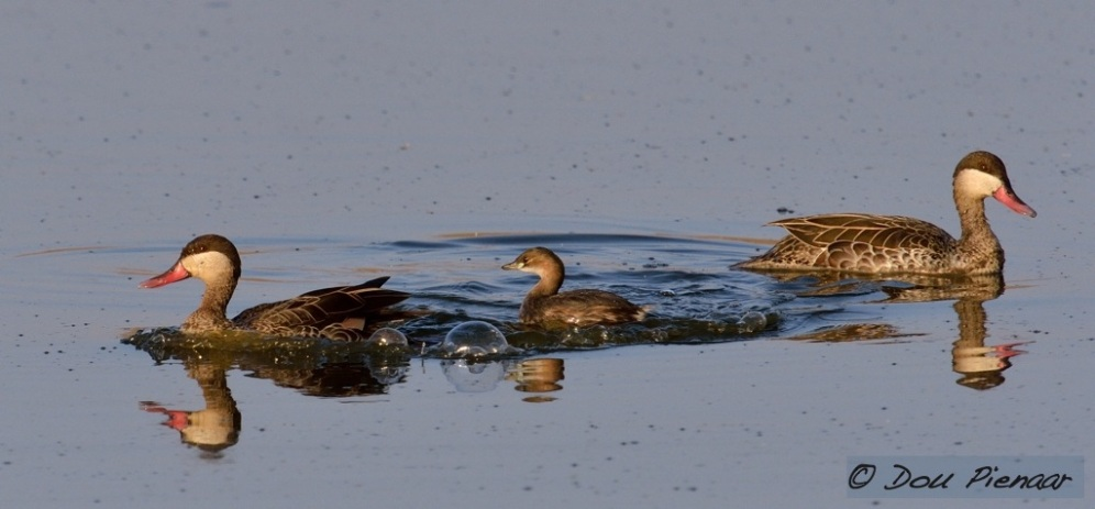 Dabchick and Red Billed Teal
