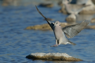 Cape Turtle Dove landing