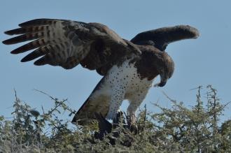 Marshall Eagle eating Guineafowl