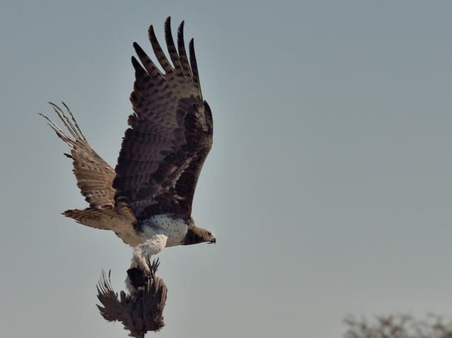 Marshall Eagle with Guineafowl catch