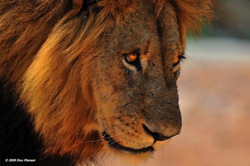 King of Sabi Sands