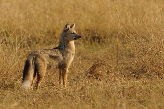 Cape Fox shot in Okavango Delta Botswana