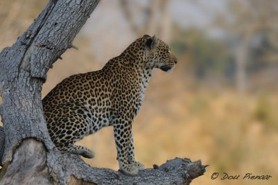 Tree Framed Female Leopard