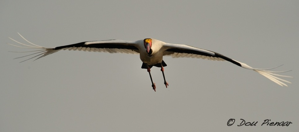 Approaching Saddle-Billed Stork