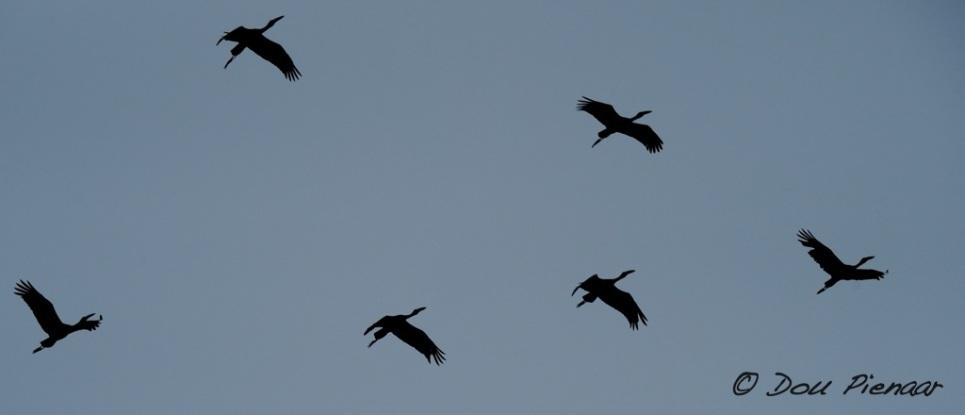 Open Billed Stork formation