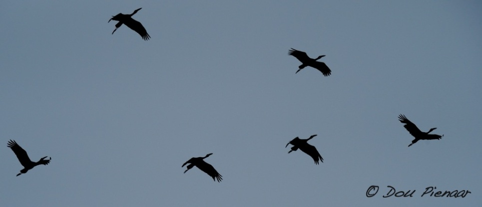 Open Billed Stork formation