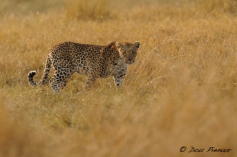 The Star of this Shoot, the Sandibe female Leopard from a previous post
