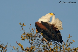 Grooming Fish Eagle