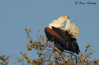 Grooming Fish Eagle