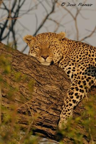 Resting Male Leopard