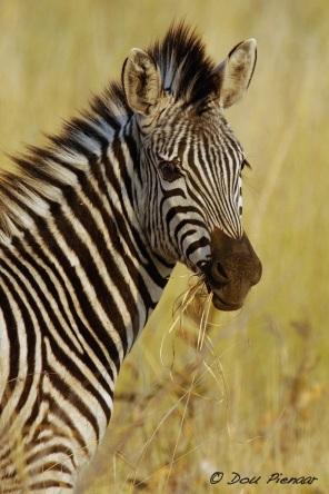 Zebra Foal Portrait