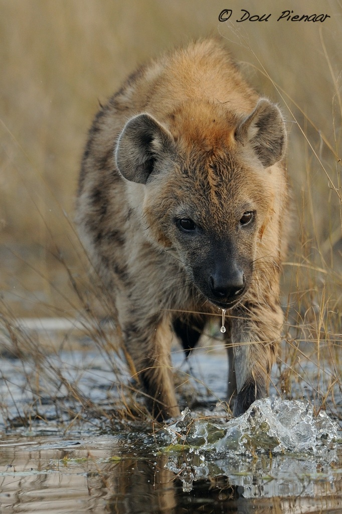 Jackal Hyena And Foxes Dou Pienaar