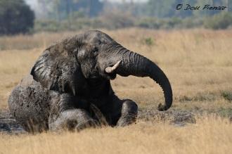 Mud Bath Elephant