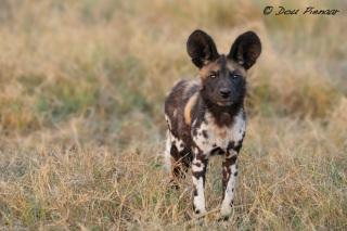 Africa Wild Dog Botswana