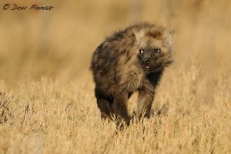 Young Hyena