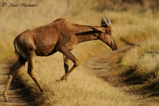 Young Rooi Hartebeest