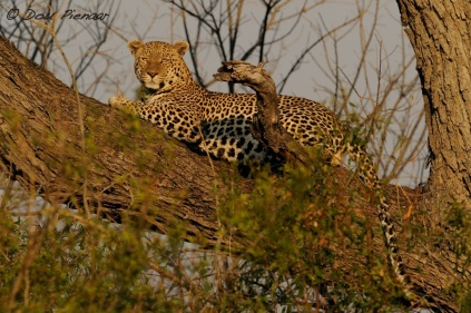 Male Leopard - Sandibe