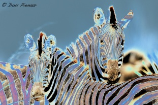 Some Zebra Art