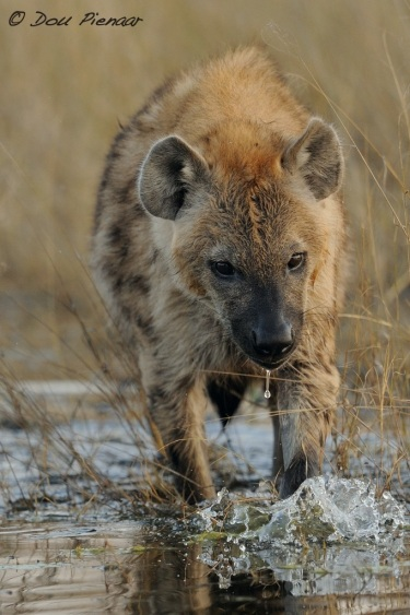 Vivacious young Hyena on an early morning play session