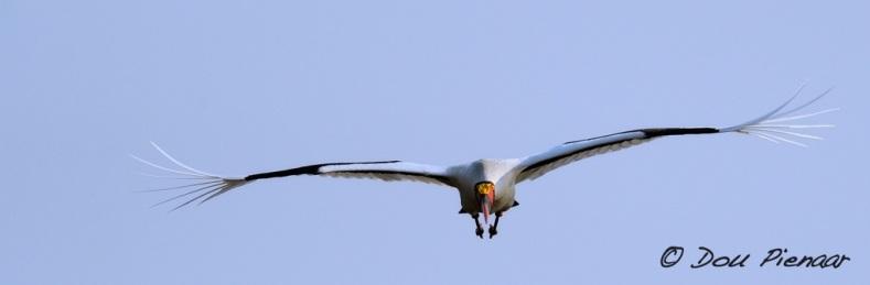 Approaching Saddle-Billed Stork