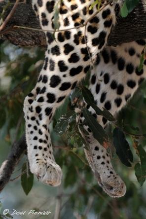 Lazy Leopard Legs