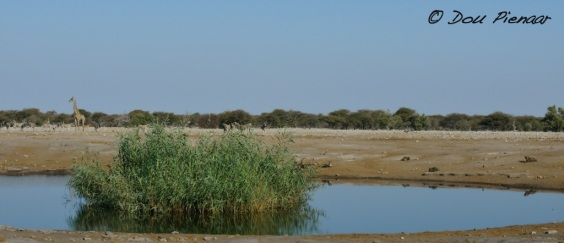 All we could now see were the Kudu's horns behind the reeds