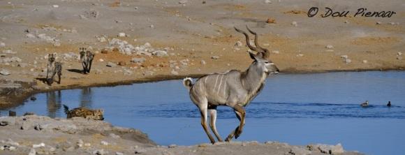 Run Kudu run...