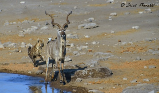 Hyaena is closing in on the Kudu...