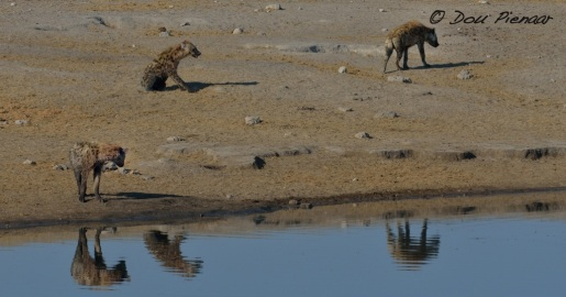 The Hyaenas are still around...