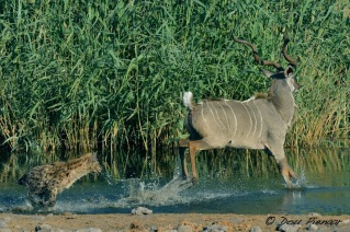 Kudu goes back into the water...