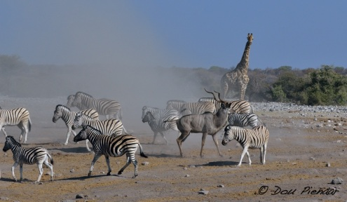Kudu leaving the stage in the dust of the Zebra activity..