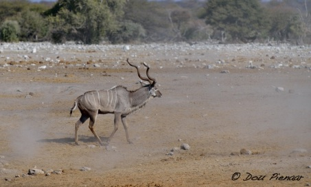 Then as the dust cloud settles appears the Kudu...