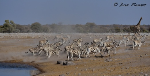 Yet another scattering of the Zebras, kicking up dust clouds....