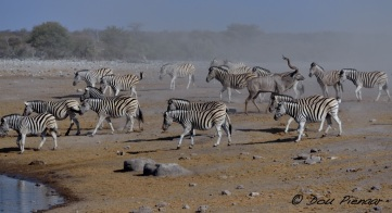 Kudu casually walks away as the Zebras return to drink..
