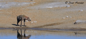 Loosing Hyaena inspects the spot where the Kudu left the water for the final escape..