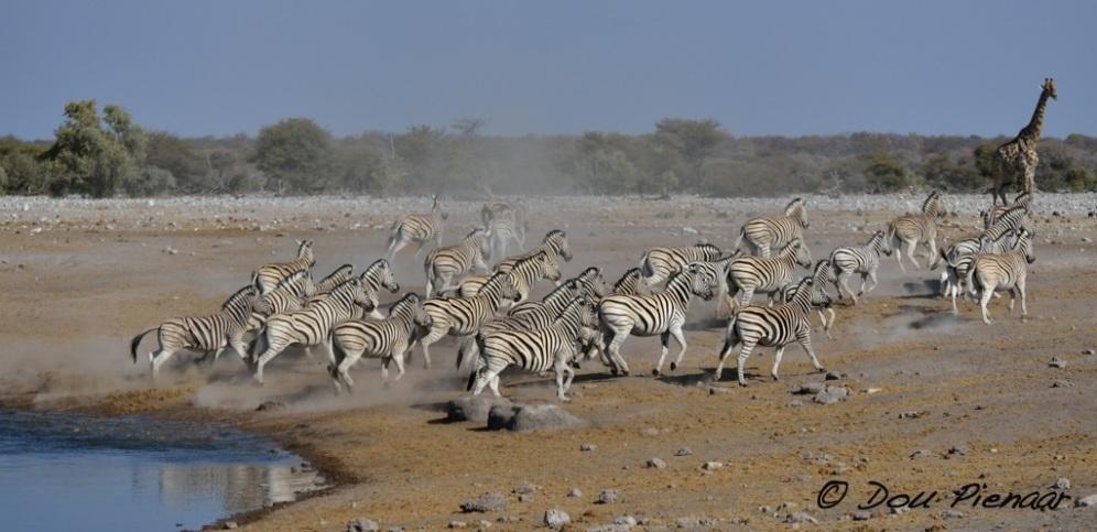 Another scattering Zebra scene