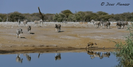 Then some thirsty Zebras came to drink...