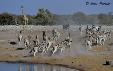 Spooked and scattering Zebras..