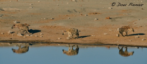 Hyaenas constantly circling the waterhole...