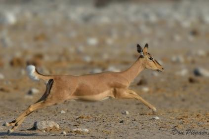 Female Black Faced Impala