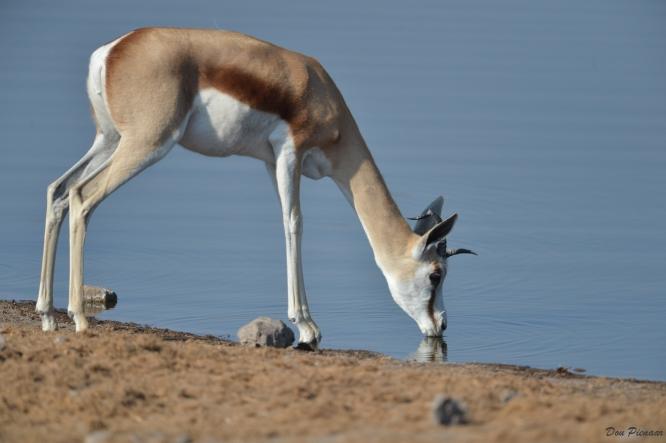 Drinking Springbok