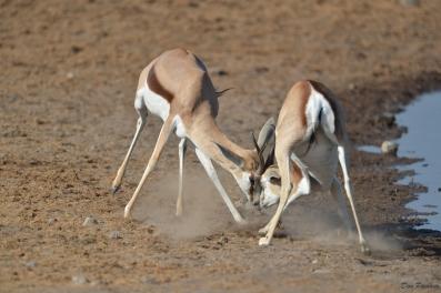 Fighting Springbok Rams