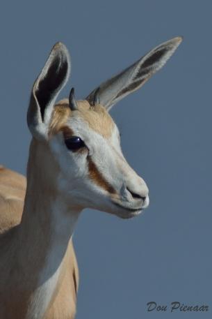 Young Springbok portrait