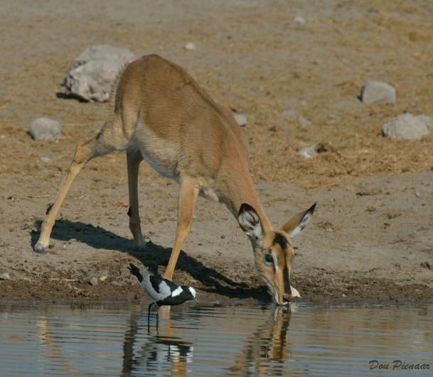 Black Faced Impala and Blacksmith Plover