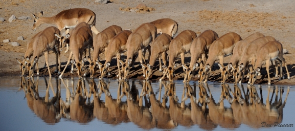 Family drinking Black faced Impala